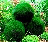 4 Marimo Moss Balls - Live Aquarium Plant Decor for Fish Tanks - 2 - 3 Inches - Large Cladophora, 8 - 15 Years Old, Minimal Care Needed