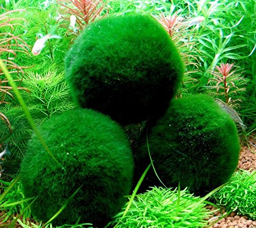4 Marimo Moss Balls - Live Aquarium Plant Decor for Fish Tanks - 2 - 3 Inches - Large Cladophora, 8 - 15 Years Old, Minimal Care Needed