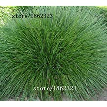 Blue Fescue Grass Seeds - (Festuca glauca) perennial hardy ornamental beautiful grass seeds for flower pot planters 50pcs