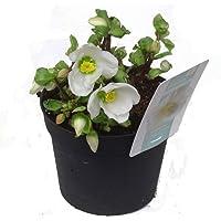 Helleborus niger Verboom Beauty - Christrose. Schneerose oder Nieswurz kein Laub sehr viele Blüten 12 cm Topf