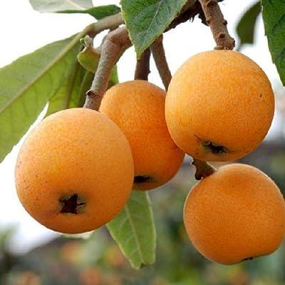 HOTUEEN 5Pcs Loquat Seeds Fruit Tree Seeds Eriobotrya Japonica Seeds Garden Planting Seeds Fruits : Garden & Outdoor