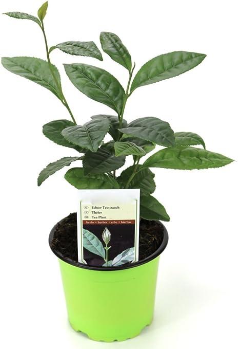Camellia sinensis echte Teepflanze Tee Teestrauch Pflanze 5-10cm Rarität