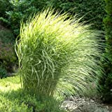 Maiden Grass 'Morning Light' - Size: 1 Gallon (Miscanthus sinensis 'Morning Light')