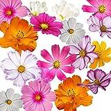 1000 Cosmos Seeds in a Mixture of 11 Varieties - Long Blooming Period in All Zones