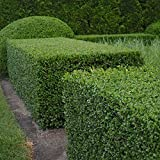 BOXWOOD Buxus Sempervirens 10 SEEDS