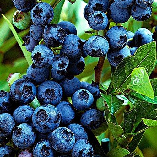gardenexpert Vaccinium Jersey 15cm Pot Size Green//Blue 20 x 20 x 40 cm