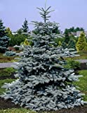Hoopsii Colorado Blue Spruce - Very Blue Selection 2 - Year Live Plant