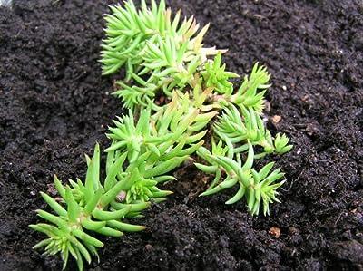 Heirloom 500 Seeds Sedum Autumn Joy Stonecrop Gold Moss Worm Grass Ice Succulent Plant Flower Seeds B0128