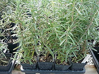 Barbeque Rosemary - Live Herb Plant