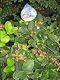 Gaultheria shallon - Hohe Rebhuhnbeere - Große Scheinbeere - Salal -