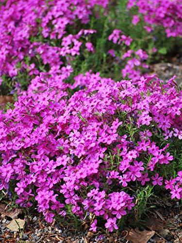 Plant Creeping Phlox - Perennial Farm Marketplace Phlox subulata 'Drummond's Pink' (Moss) Perennial 1 Quart', Deep Fushia Flowers