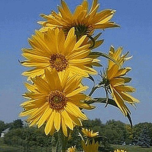 maximilian sunflower seeds - 4