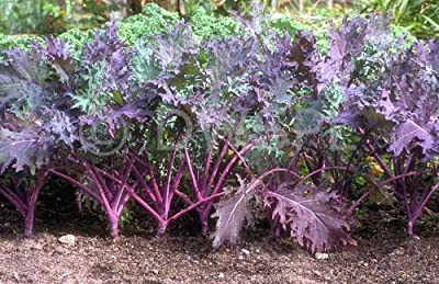 Todd's Seeds Red Russian Kale Seed - 1 Pound