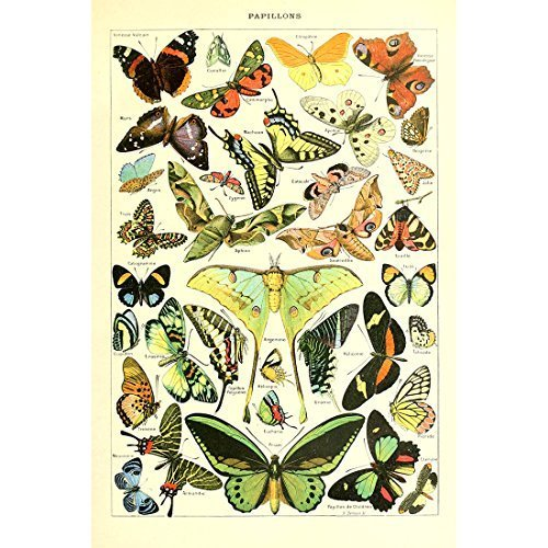 Vintage Poster Print Wall Art Butterflies of the World Breeds Collection Old Insects Scientific Chart Butterfly Home Decor (20.87'' x 31.5'') -