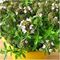 Package of 500 Seeds, Winter Savory (Satureja montana) Non-GMO Seeds by Seed Needs