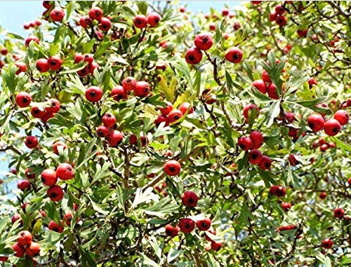 Seeds Washington Hawthorn Mayflower Shrub Tree Edible Fruit & White Flowers Get 50 Seeds #LC01YN -