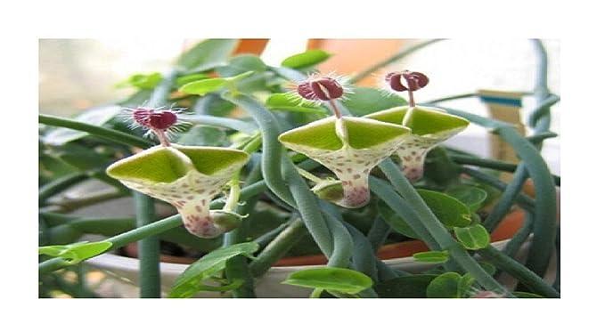 15x MINI Kiwi Actinidia arguta Issai selbstbestäubend Samen Obst #204