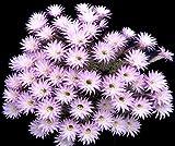 Echinopsis Multiplex exotic easter lily oxygona rare cactus seed cacti 20 SEEDS