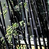 Move on 100Pcs Colorful Black Purple Green Moso-Bamboo Seeds Garden Plants (Black)