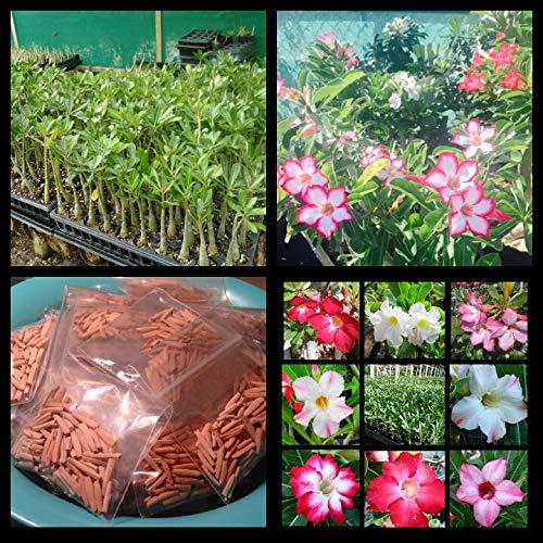 New!! U.S. Seller 50 Fresh Desert Rose Seeds Mixed Colors Adenium Desert Rose 50 Pack Single and Multi Colored Flowers Fresh Seeds