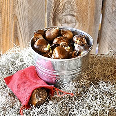 Paperwhites in a Shiny Silver Bucket: 30 Bulbs (14/15) - Super Cute - Holiday Hostess Gifts