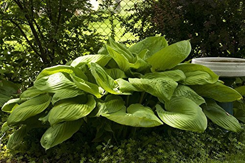 Sum and Substance - 2004 Hosta of the year! - Quart (Hosta Leaf)