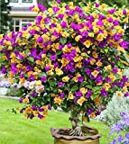 100 Mix Color Bougainvillea seed Balcony pot, yard bonsai flower plant immensely showy, floriferous hardy plant