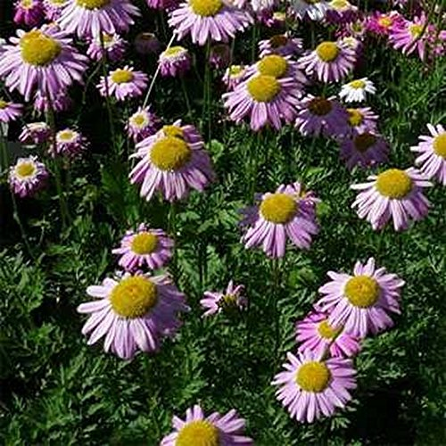 Chrysanthemum- Robinsons Rose - 200 Seeds