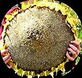 MASSIVE Titan Sunflower - 15 SEEDS! Comb.S/H! Very