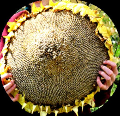 Image of MASSIVE Titan Sunflower - 15 SEEDS! Comb.S/H! Very tall