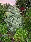 "4 Canadian hemlock (Tsuga canadensis) 6-12"" seedlings"