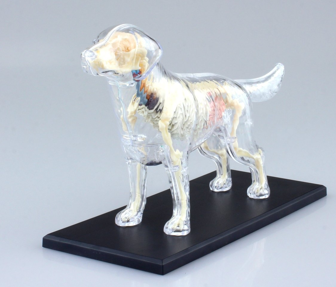 Amazon.com: Dog Anatomy Skeleton Model (Plastic model) by AOSHIMA ...