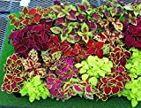 Coleus Rainbow Mix Seeds 300 to 1/4LB Color Red Green Purple Leaves 19 (400K seeds, or 1/4 Pound)