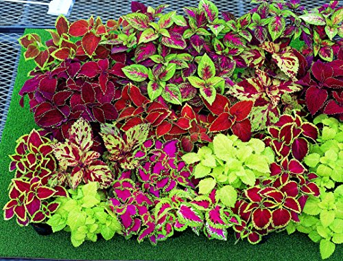 Coleus Rainbow Mix Seeds 300 to 1/4LB Color Red Green Purple Leaves 19 (300 seeds)