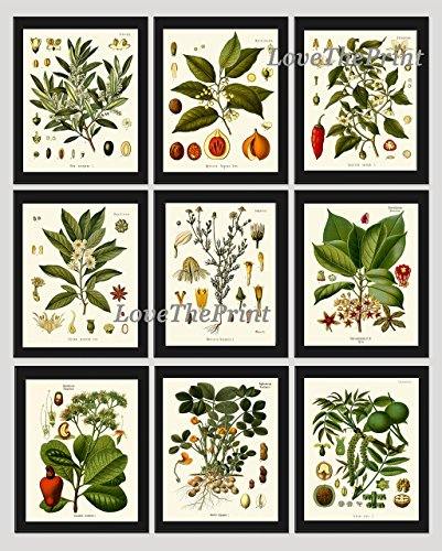 Beautiful Walnut (Herbs and Spices Print Set of 9 Antique Beautiful Botanical Italian Olive Nutmeg Peanut Walnut Anise Sweet Chili Red Pepper Chamomile Cashew Home Room Decor Wall Art Unframed KOH)