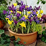 Dwarf Iris Mix - 25 Bulbs