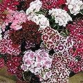 3000 Dianthus Seeds - Sweet William Mix,Winter hardy to USDA Zones 3-9.