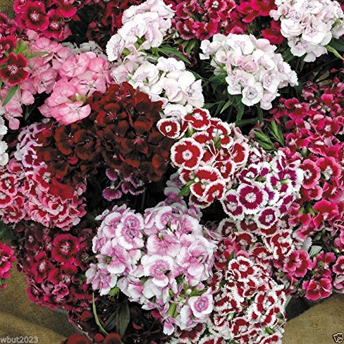 (3000 Dianthus Seeds - Sweet William Mix,Winter hardy to USDA Zones)
