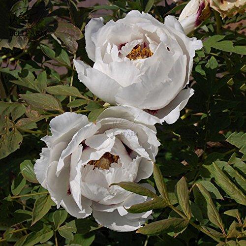 Go Garden BELLFARM Bonsai Paeonia Rockii Rock39; s Peony Tree Light Fragrant Big Blooms Garden Shrubs Flowers High Germination -5pcs/Pack