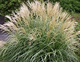 Miscanthus Adagio, Perennial Ornamental Grass Potted Plant