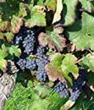 buy 5 GIANT BLACK GLOBE GRAPE SEEDS Vitis Fruit Vine Seeds *Comb S/H now, new 2020-2019 bestseller, review and Photo, best price $1.90