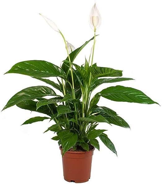 Espatifilo (Spathiphyllum) Planta de Interior