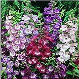 New PENSTEMON HETEROPHYLLUS BLUE SPRING FLOWER SEEDS / PERENNIALn 200+ Seeds