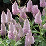 "NEW! PTILOTUS ""JOEY"" FLOWER SEEDS / ANNUAL"