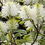 4 : Fothergilla Major - 4 shrubs