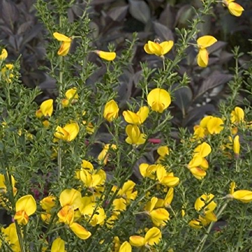 Mini Garden CYTISUS 'MADAME BUTTERFLY' - SCOTCH BROOM - NO SHIP WEST COAST - STARTER PLANT