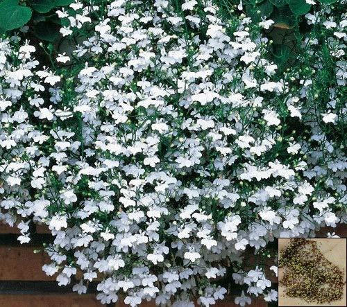 Trailing Lobelia - Cascade Series White - 7000 Seeds - Lobelia pendula #1248#2