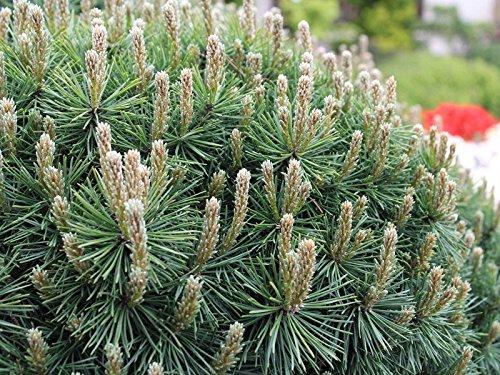 Pinus mugo Mops (Kugelkiefer) 40-50cm / 7,5l oder 10l-Container (Bäume & Raritäten)