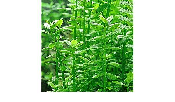 Amazon.com : Wintefei 50Pcs Aquarium Plant Seeds Water Grass Aquatic Tortoise Fish Tank Decoration : Pet Supplies