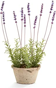 Napa Home & Garden Conservatory French Lavender Potted HERB 17-in.